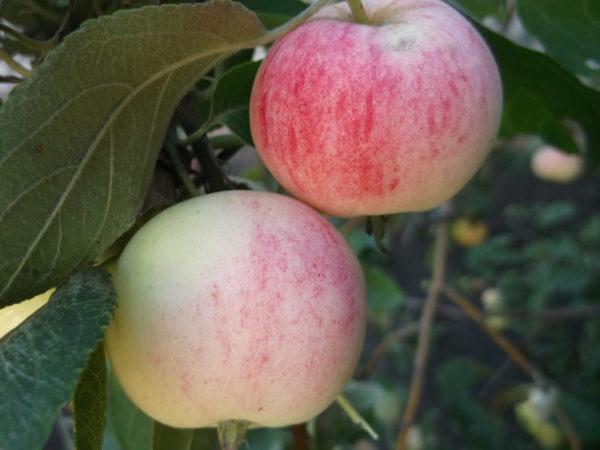 Яблоня Алтайское румяное