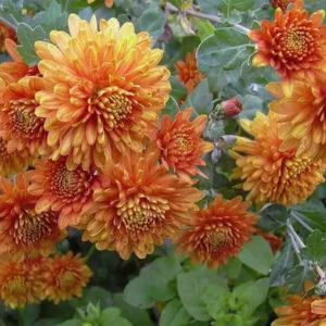 Хризантемы коричневые
