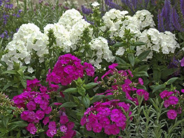 Цветы Флоксы в ассортименте