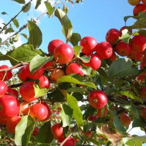 Яблоня Минусинское красное
