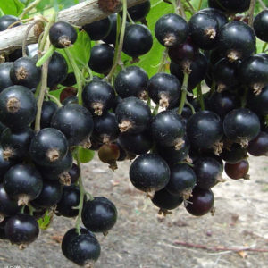 Смородина чёрная Минусинская сладкая