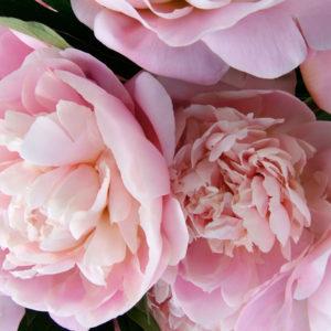 Цветы Пионы розовые, белые
