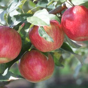 Яблоня Шафран зимний