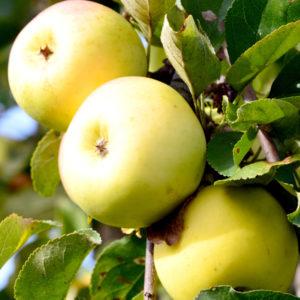 Яблоня Юнга
