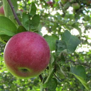 Яблоня Здоровье