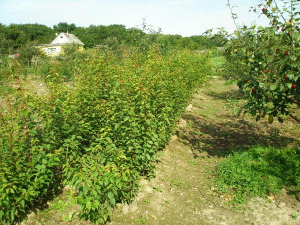 Сеянец абрикоса