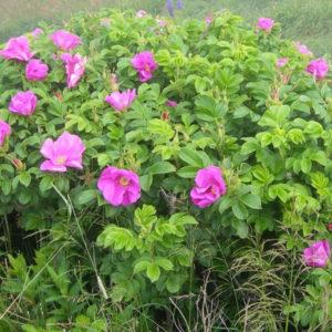 Роза-рогоза